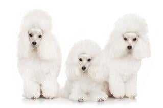 Group of Poodles - auction package sample