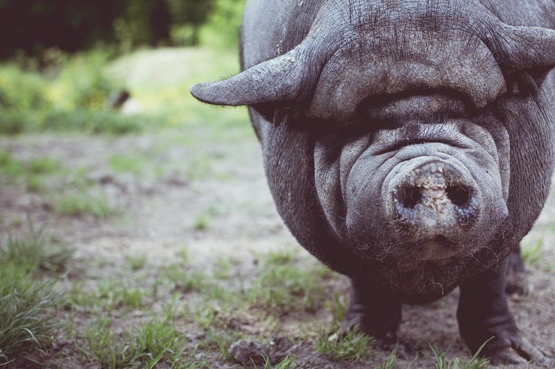 Pot bellied pig sm.jpg