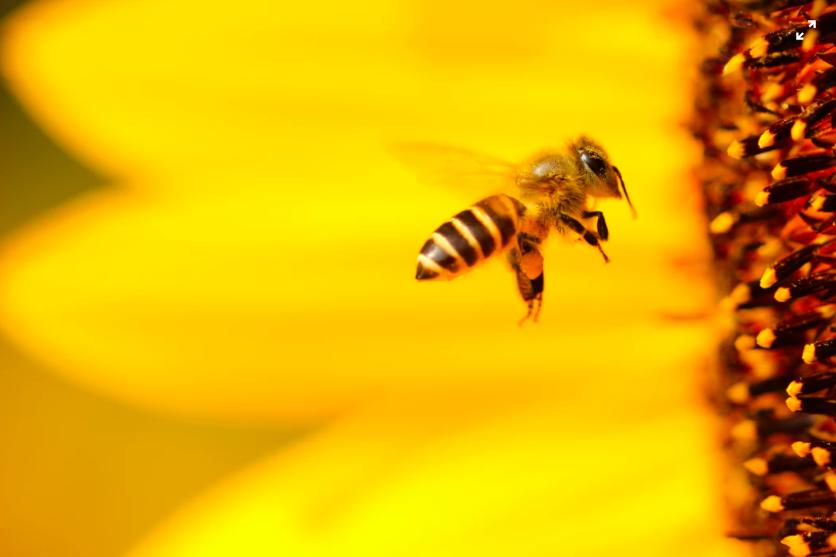 bee yellow flower